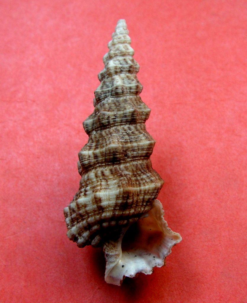 Cerithium nodulosum adansonii - Bruguière, 1792  Cerinodu12
